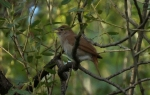 Common Nightingale/Luscinia megarhynchos - Photographer: Георги Петров